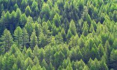 Forests are thought to emit many more of these scented compounds as temperatures rise, potentially slowing effects of global warming