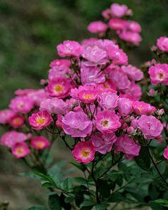 Proljetni ekvinocij se pojavio na sjevernoj hemisferi u srijedu, 20. mart 2019. u 21:58. i simbolizira nove početke. Magija proljetnog ekvinocija je dostupna svima nama i možemo ju iskoristiti da nam bude temelj u ljubavi, životnoj svrsi i u našim najdubljim duhovnim čežnjama. Proljetni ekvinocij je proslava dužih dana, novih usjeva i novih ideja. Zima ... E Flowers, Hot Pink, Vibrant, Plants, Instagram, Planting Flowers, Tree Structure, Pink, Plant