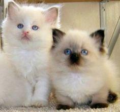 Ragdolls - super fluffy and cute! POSSOM