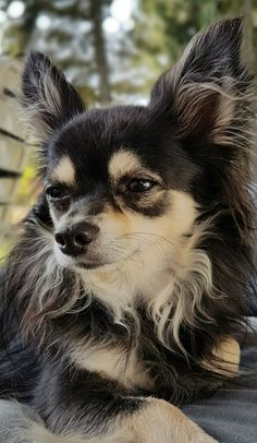 Mein kleiner Charly #chihuahua_feature #chihuahuas #chihuahualove #animal #chihuahua #dog #pets
