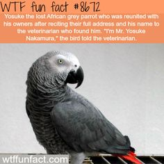 Lost African Grey Parrot told the veterinarian his address - WTF fun facts Wtf Fun Facts, Funny Facts, Random Facts, Crazy Facts, Random Stuff, True Facts, Strange Facts, Random Things, Funny Stuff