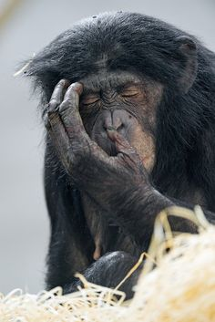 bonobo- looking a little exasperated with life.