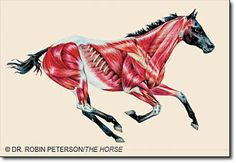 Muscles of the horse- article