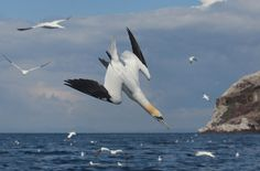 DIVING GANNET - This image was taken at Bass rock in Scotland. Thanks for looking, Lee