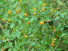 Jewelweed(Impatiens biflora) used for treatment of poison ivy, poison oak, poison sumac Homeopathic Remedies, Natural Remedies, How To Attract Hummingbirds, Attracting Hummingbirds, Jewel Weed, Wild Edibles, Weed Control, Tiny Flowers, Medicinal Plants