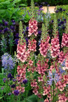 Verbascum with Camassia leichtlinii by Morgan Stanley Garden Chris Beardshaw RHS Chelsea 2015 Lisa Cox
