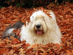 Conheça a Raça Old English Sheepdog
