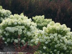 A tiny plant with tons of flowers, this hydrangea shrub shows off white blooms all summer before turning a pinkish color in the fall. Unlike many hydrangeas, the acidity of the soil does not affect the color of the blooms. 'Bobo' prefers loamy soil but is adaptable to many soil types. It grows best in part sun to sun.
