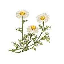 Chamomile Illustration