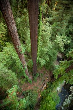 zip lining the redwoods in northern california!