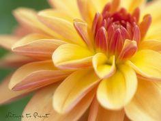 Farbtherapie mit Blumenbildern Plants, Dahlias, Shade Perennials, Photo Wallpaper, Nice Asses, Yellow, Contentment, Plant, Planets