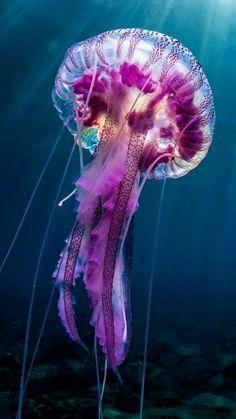 Beautiful Magenta Jellyfish