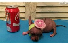 You'll love this Female Mexican Hairless Dog puppy looking for a new home.