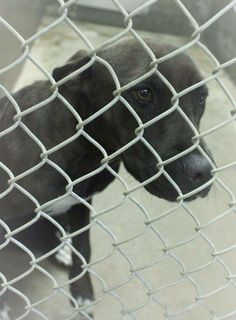 SAFE ---   Staffordshire Terrier mix female less than a year old  Kennel A26 Available 6-18-2014 ****$51 to adopt   Located at Odessa, Texas Animal Control. 432-368-3527