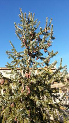 Dec. 17, 2014- On my walk.  Baby pine cones against the blue Utah sky.