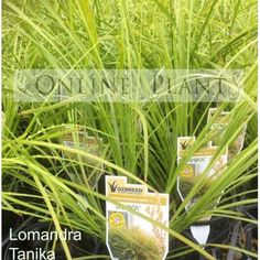 Buy Lomandra Tanika for sale from Online Plants Australia. Lime green native grass a beautifully graceful new release form of Lomandra Tanika, Lime green foliage all year round.