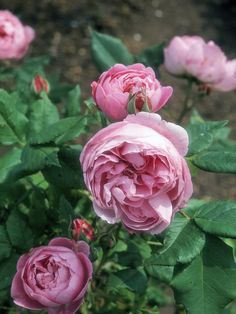 Old Fashioned Roses Bear One Flush of Flowers