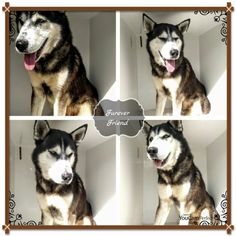 This DOG - ID#A472166  I am a male, black and white Siberian Husky mix.  The shelter staff think I am about 2 years old.  I have been at the shelter since Nov 11, 2016.  This information was refreshed 50 minutes ago and may not represent all of the animals at the Harris County Public Health and Environmental Services.