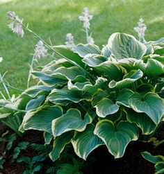 'Sagae' Named Hosta of the Year in 2000 by the American Hosta Grower's Association, 'Sagae' displays light blue-green leaves that have a frosted look and are dramatically edged in gold. It's a strong grower with wonderfully thick foliage. Light Purple Flowers, Shade Flowers, Lavender Flowers, Plants That Love Shade, Shade Plants, Hosta Plants, Garden Plants, Houseplants, Green Leaves