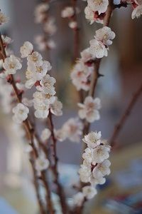 apricot blossoms, February