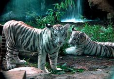 White Tiger | white bengal tigers are the descendants of four cubs of a white tiger ...