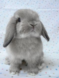 Today I'm gonna' introduce you guys to a kind of bunny, called the Holland Lop. The Holland Lop is a breed of rabbit originated from the Ne. Cute Creatures, Beautiful Creatures, Animals Beautiful, Beautiful Dogs, Cute Baby Bunnies, Cute Babies, Mini Lop Bunnies, Dwarf Bunnies, Mini Lop Rabbit