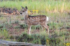 Playful Curiosity   Playful Curiosity Mule Deer Fawn Bryce C…   Flickr