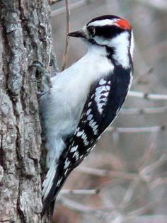 Downy Woodpecker (male).  I happen to like woodpeckers and it's the reason I got into making/selling suet feeders and suet.  We don't have any problems with them pecking on our house.  This article is an I.D. guide for woodpeckers in New Hampshire, but works for anyplace.