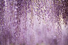 ♕ wisteria waterfall
