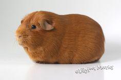 Lillyfoot Glatthaar Meerschweinchen in Gold. :o))