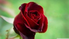 A Single Red Rose Wallpaper Flowers Nature mobile Wallpapers) – Wallpapers Mobile Rose Images, Rose Photos, Rose Pictures, Flower Images, Amazing Pictures, Single Red Rose, Traditional Roses, Flower Mobile, Beautiful Red Roses