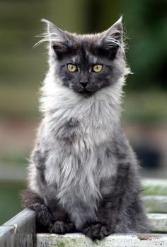 Mingkun (my maine coon)