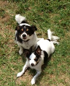 Several of the Rat Terrier dog breeders wean litters from their mothers way also quickly. Rat Terrier Dogs, Fox Terriers, Dog Breeders, Rats, Dog Love, Mothers, Corgi, Random, Animals