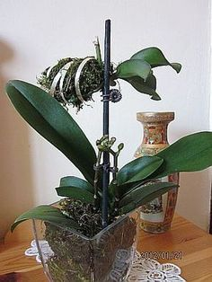 Orchid Show, Orchid Care, Growing Orchids, Orchid Arrangements, Orchids Garden, Organic Gardening Tips, Garden Care, Exotic Flowers, Houseplants