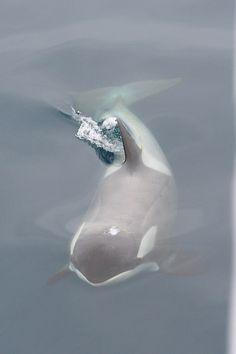Gerlache Strait Orca (by edward_rooks)