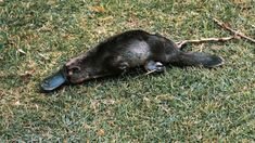 Already targeted as a possible answer to the world's superbug woes, Australia's humble platypus is now being positioned as a weapon against diabetes. Le Castor, Platypus, Australian Animals, Parcs, Under The Sea, Reptiles, Diabetes, Creatures, Mother Nature