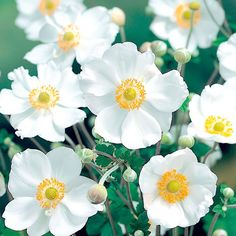 "Japanese Anemone - Honorine Jobert - tough, easy to grow, back of border plant at 30-48"" height and a spread of 12-18"".  Flowers July to September.  Perfect for Pollinators <3 bees"