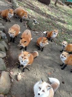 If you've ever wished that there was a place where you could freely mingle with a bunch of adorable friendly foxes, your heaven on earth exists. Just head over to the Zao Fox Village in the Miyagi Prefecture of Japan.
