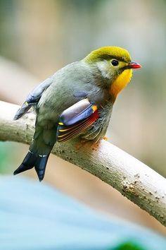 Ruiseñor del Japón o Leiotrix Piquirrojo (Leiothrix lutea). Es un ave paseriforme de la familia Leiothrichidae originaria del sur de Asia, desde Tailandia hasta el sur de China.