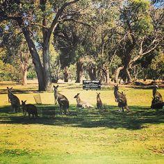 So many Kangaroos #Anglesea #AngleseaGolfClub #GreatOceanRoad by ellesbelles01 http://ift.tt/1KosRIg
