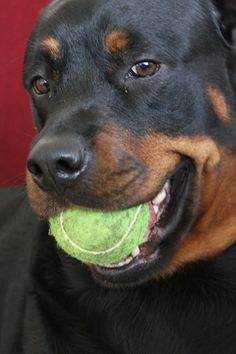 Nothing comes between a girl and her ball! #Rottweiler