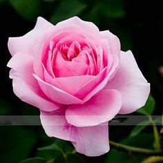 Zennixplus Double Pink Rose Plant Flower Garden Seed ** Read more at the image link.