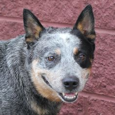 Sangamon County Animal Control Center, Springfield, IL  (217)535-3065 ~~ Kelby (A013635) is an adoptable Australian Cattle Dog (Blue Heeler) Dog in Springfield, IL.  ...