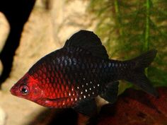 Black Ruby Barb (Puntius Nigrofasciatus) - I'd like to work with a Barb at some point and while these are larger than most fish I work with they are gorgeous!