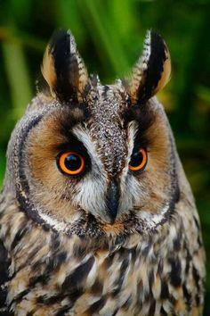 long-eared owl | Long eared owlet. Trabolgan Bird of Prey Center