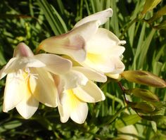 Freesia, flower, spring