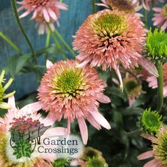 Butterfly Kisses a new cone flower for 2013. Compact, beautiful color, and a good garden performer.