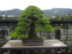 http://www.bonsaiempire.com/gallery/kinashi #bonsai