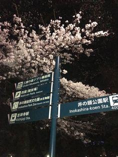 井の頭公園の夜桜見物です。