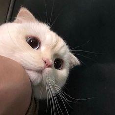I want cats pets cute Cutest Animals On Earth, Animals And Pets, Baby Animals, Funny Animals, Cute Animals, I Love Cats, Crazy Cats, Cool Cats, Pretty Cats